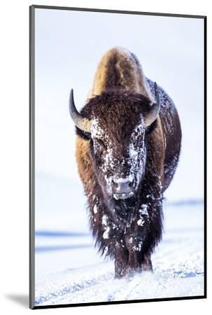 Wyoming, Yellowstone National Park, Bull Bison Walking in Hayden Valley-Elizabeth Boehm-Mounted Photographic Print