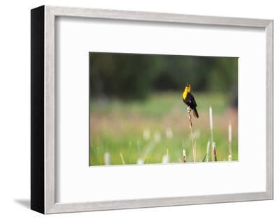 Yellow Headed Blackbird in the National Bison Range, Montana-James White-Framed Photographic Print