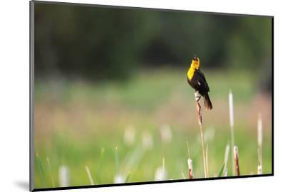 Yellow Headed Blackbird in the National Bison Range, Montana-James White-Mounted Photographic Print