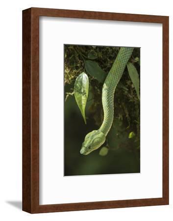 Captive Eyelash Viper, Bothriechis Schlegelii, Coastal Ecuador-Pete Oxford-Framed Photographic Print