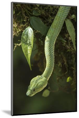 Captive Eyelash Viper, Bothriechis Schlegelii, Coastal Ecuador-Pete Oxford-Mounted Photographic Print