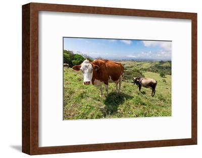 Grass Fed Cattle, Costa Rica-Susan Degginger-Framed Photographic Print