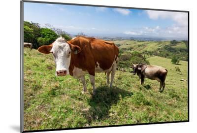 Grass Fed Cattle, Costa Rica-Susan Degginger-Mounted Photographic Print