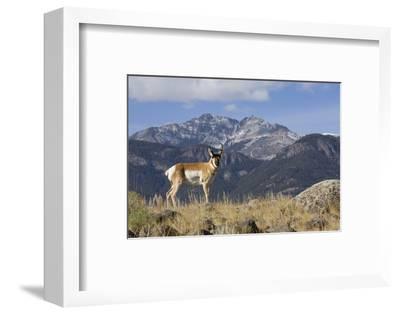 Pronghorn Antelope Buck, Electric Peak-Ken Archer-Framed Photographic Print