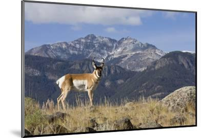 Pronghorn Antelope Buck, Electric Peak-Ken Archer-Mounted Photographic Print
