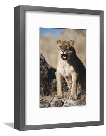 African Lion Sitting and Mouth Open-Stuart Westmorland-Framed Photographic Print