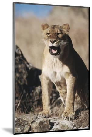 African Lion Sitting and Mouth Open-Stuart Westmorland-Mounted Photographic Print