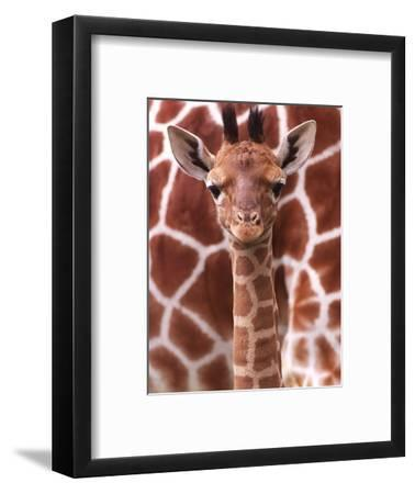 A Three Week Old Baby Giraffe at Whipsnade Wild Animal Park Pictured in Front of Its Mother--Framed Photographic Print