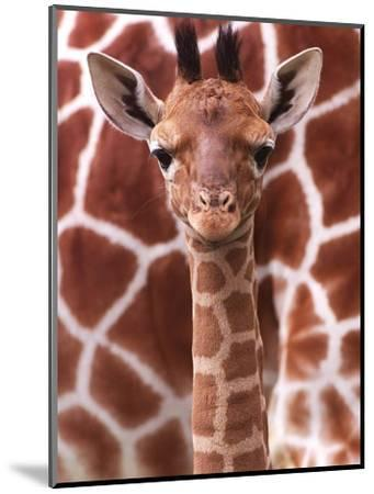 A Three Week Old Baby Giraffe at Whipsnade Wild Animal Park Pictured in Front of Its Mother--Mounted Photographic Print