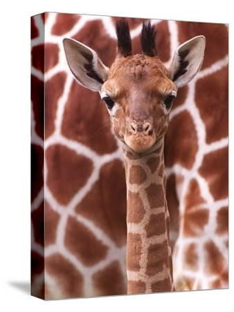 A Three Week Old Baby Giraffe at Whipsnade Wild Animal Park Pictured in Front of Its Mother--Stretched Canvas Print