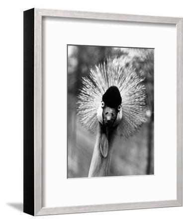 Secretary Bird, Bird of Prey--Framed Photographic Print