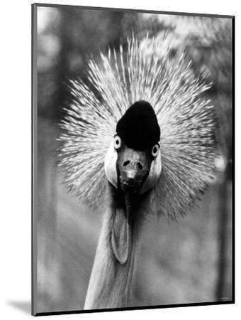 Secretary Bird, Bird of Prey--Mounted Photographic Print