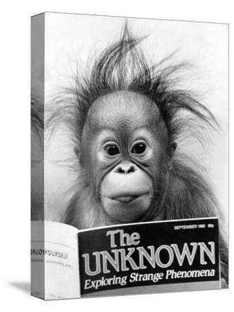 Orangutang, October 1986--Stretched Canvas Print
