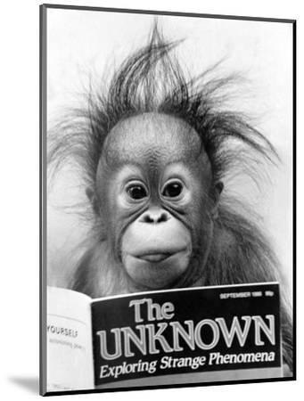 Orangutang, October 1986--Mounted Photographic Print
