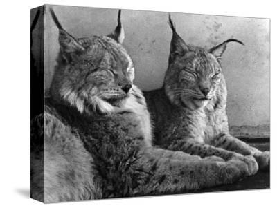 """Laying in Noonday Sun"" Beautiful Pair of Northern Lynx Effected by Sudden Warm Spell--Stretched Canvas Print"