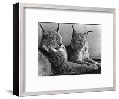 """Laying in Noonday Sun"" Beautiful Pair of Northern Lynx Effected by Sudden Warm Spell--Framed Photographic Print"