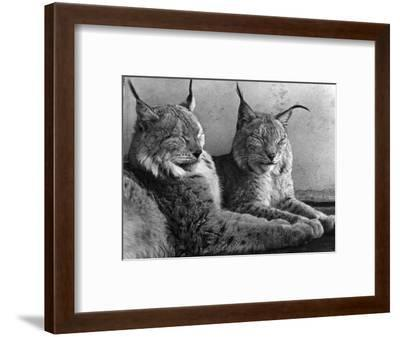 """""""Laying in Noonday Sun"""" Beautiful Pair of Northern Lynx Effected by Sudden Warm Spell--Framed Photographic Print"""
