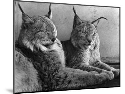 """Laying in Noonday Sun"" Beautiful Pair of Northern Lynx Effected by Sudden Warm Spell--Mounted Photographic Print"