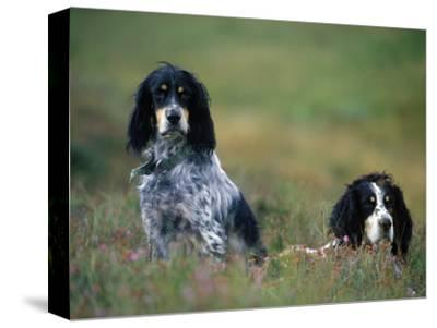 English Setters on the Moor, Caithness, Scotland-John Warburton-lee-Stretched Canvas Print