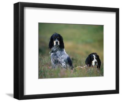 English Setters on the Moor, Caithness, Scotland-John Warburton-lee-Framed Photographic Print
