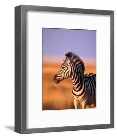 Portrait of Young Burchells Zebra (Equus Burchelli), Etosha National Park, Namibia-Andrew Parkinson-Framed Photographic Print