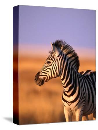 Portrait of Young Burchells Zebra (Equus Burchelli), Etosha National Park, Namibia-Andrew Parkinson-Stretched Canvas Print