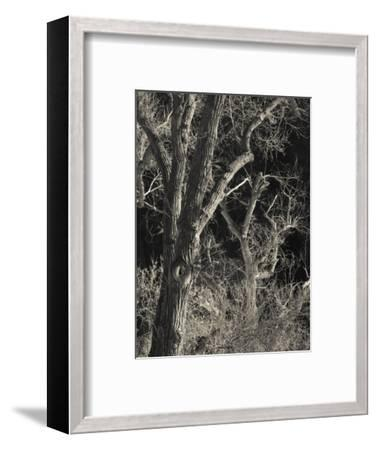 Utah, Zion National Park, Bare Silver Trees, Temple of Sinawava Area, Winter, USA-Walter Bibikow-Framed Photographic Print