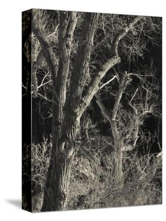 Utah, Zion National Park, Bare Silver Trees, Temple of Sinawava Area, Winter, USA-Walter Bibikow-Stretched Canvas Print