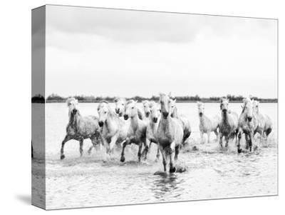 Camargue White Horses Galloping Through Water, Camargue, France-Nadia Isakova-Stretched Canvas Print