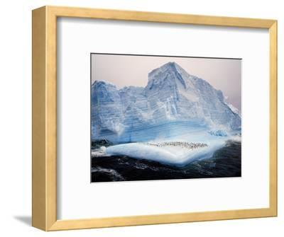 Scotia Sea, Chinstrap Penguins on Iceberg, Antarctica-Allan White-Framed Photographic Print