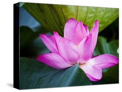 Lotus Flower Detail, West Lake-Greg Elms-Stretched Canvas Print