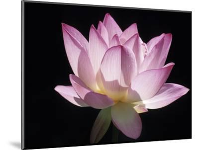 Lotus Flower (Nelumbo Lutea)-Holger Leue-Mounted Photographic Print