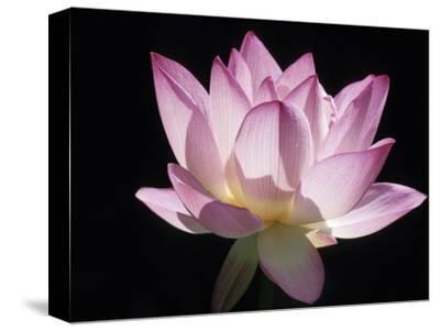 Lotus Flower (Nelumbo Lutea)-Holger Leue-Stretched Canvas Print