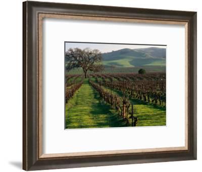 Late Winter Vineyard, Livermore Valley-Nicholas Pavloff-Framed Photographic Print
