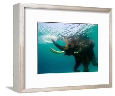 Male Indian Elephant (Elephas Maximus Indicus) Swimming Underwater-Astrid Schweigert-Framed Photographic Print
