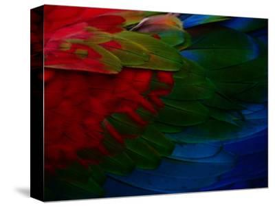Macaw Plumage Detail-Diego Lezama-Stretched Canvas Print