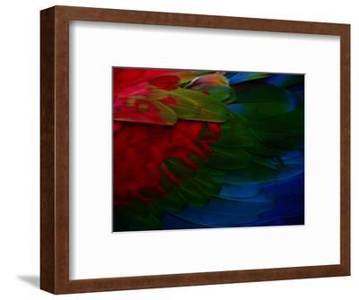 Macaw Plumage Detail-Diego Lezama-Framed Photographic Print