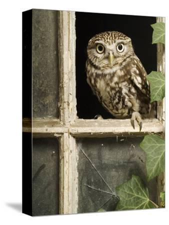 Little Owl in Window of Derelict Building, UK, January-Andy Sands-Stretched Canvas Print