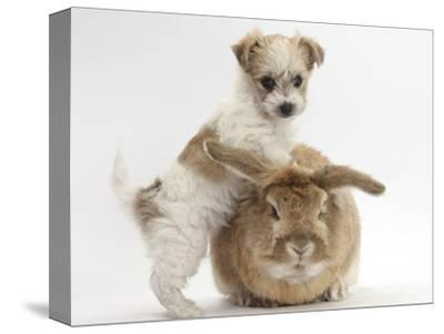 Bichon Frise Cross Yorkshire Terrier Puppy, 6 Weeks, and Sandy Rabbit-Mark Taylor-Stretched Canvas Print