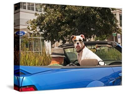 Dog Wearing Goggles, Passenger of Convertible Car on Vanness Avenue-Sabrina Dalbesio-Stretched Canvas Print