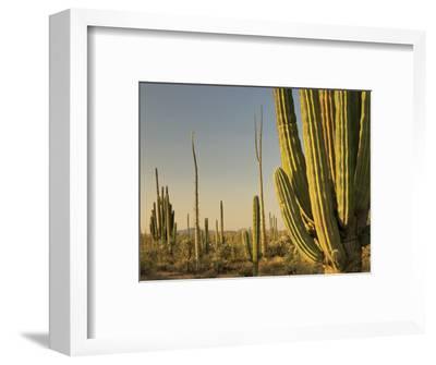 Cirio Trees and Cardon Cacti Near Catavina-Witold Skrypczak-Framed Photographic Print