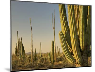 Cirio Trees and Cardon Cacti Near Catavina-Witold Skrypczak-Mounted Photographic Print