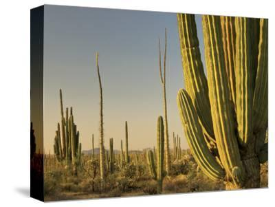 Cirio Trees and Cardon Cacti Near Catavina-Witold Skrypczak-Stretched Canvas Print