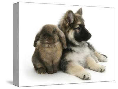 German Shepherd Dog Bitch Puppy, Echo, with Lionhead Rabbit-Mark Taylor-Stretched Canvas Print