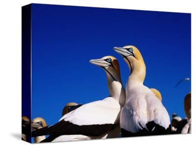 Cape Gannets at Colony-Frans Lemmens-Stretched Canvas Print