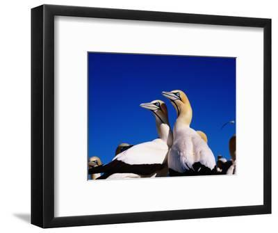 Cape Gannets at Colony-Frans Lemmens-Framed Photographic Print