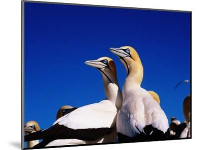 Cape Gannets at Colony-Frans Lemmens-Mounted Photographic Print