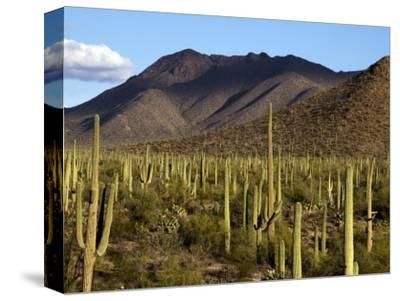 West Unit of Saguaro National Park-Mark Newman-Stretched Canvas Print