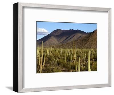 West Unit of Saguaro National Park-Mark Newman-Framed Photographic Print