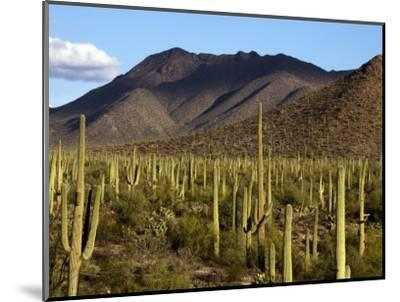 West Unit of Saguaro National Park-Mark Newman-Mounted Photographic Print